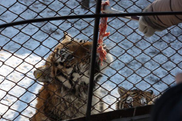 Abenteuer mit Tigern: Für einen kleinen Betrag kannst du die Raubkatzen füttern.