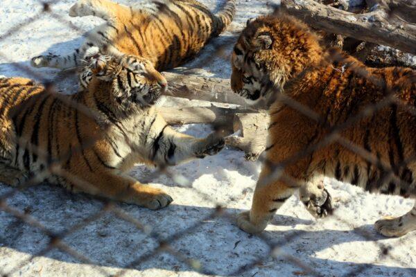 Kuschelnde Tiger in ihrem Gehege.