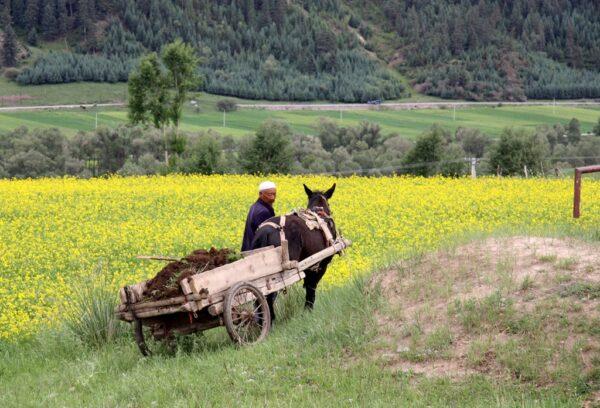 Bauer fährt in der Nähe von Jiuquan durch sein Rapsfeld.