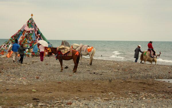 Ein Touristendorf am Qinghai-See bietet Besuchern Pferde- und Kameltouren an.